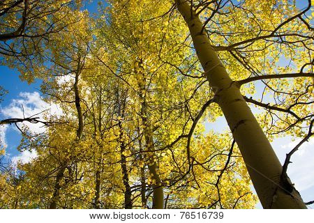Aspen Tree And Blue Sky