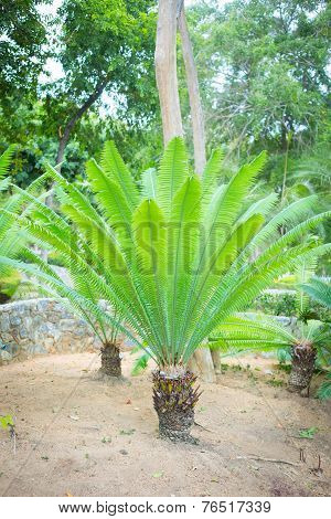 Young Palm Tree Fern