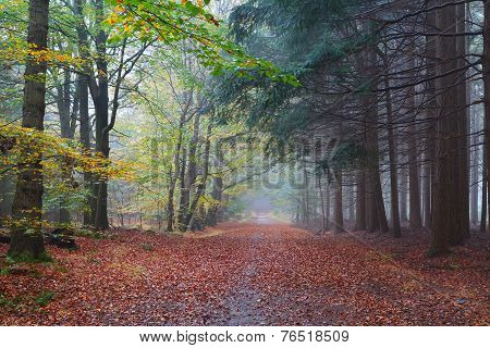 Path Between Beech And Coniferous Forests