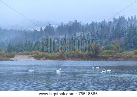 Wild White Swans On Lake In Alps