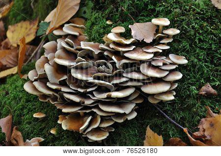 Group Of Lamellar Fungus