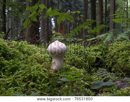 Single common puffball