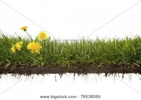 cross-cut of grass with dandelion isolated on white background
