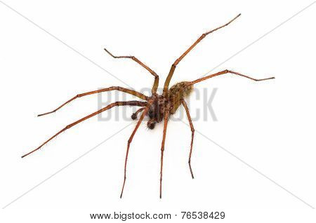 Common House Spider, Amaurobius Similis