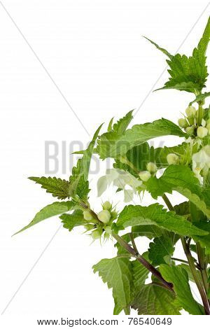 Stinging Nettle Over White Background