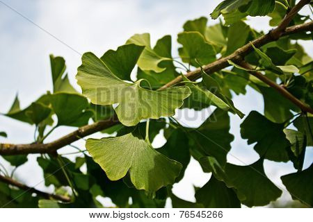 Ginkgo On A Branch