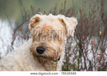 terrier in the bush