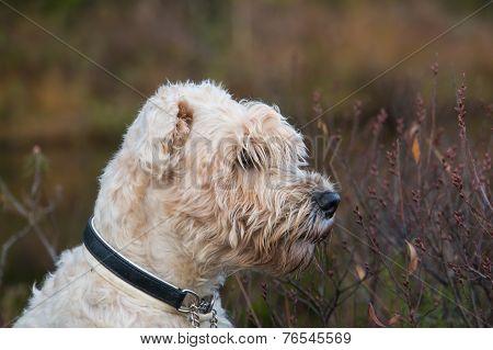 softis terrier