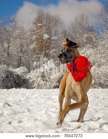 Great Dane frolicking in the snow, vertical
