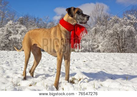 Great Dane standing in the snow wearing scarf