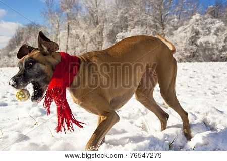 Great Dane attempting to catch ball in the snow