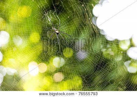 Nephila Pilipes Spider