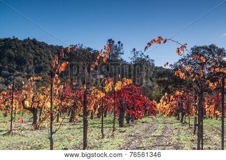 Fall Colors - Grapes Plant
