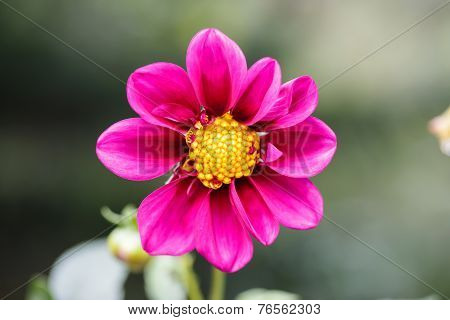 Closeup Macro Photography Of A Purple Flower With Yellow Detailed Pollen