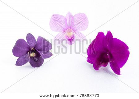 Purple Streaked Orchid Flower, Isolated
