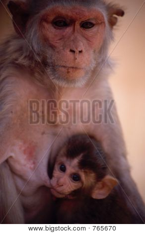 Monkey and baby in Rajasthan, India