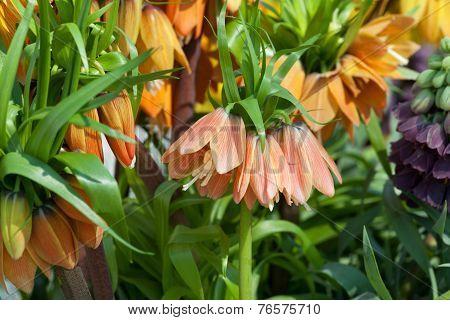 Imperial Crown flowers