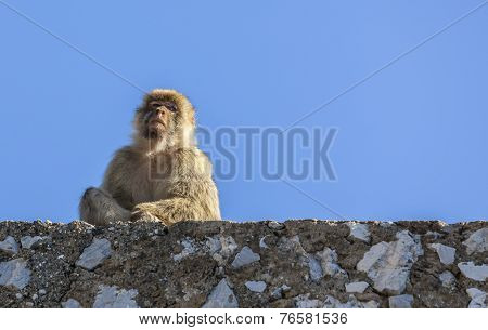 Barbary Macaque Of Gibraltar