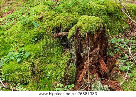 Tree Stump With Green Moss