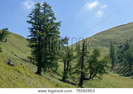 Conifers In The Mountains