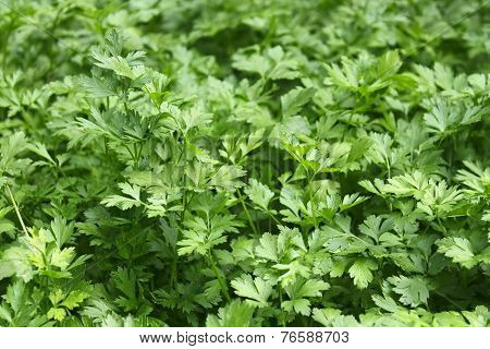 Green Plants Of Parsley