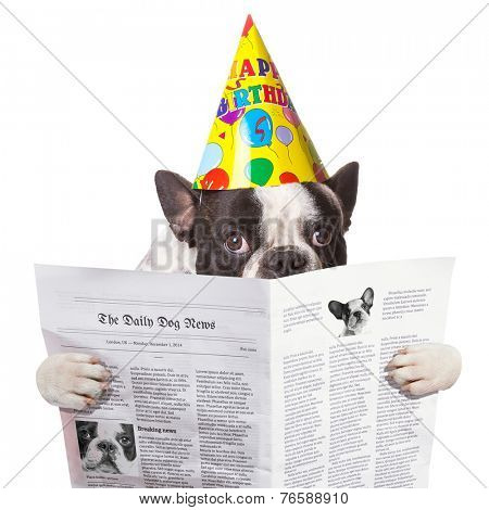 French bulldog in birthday hat reading newspaper over white