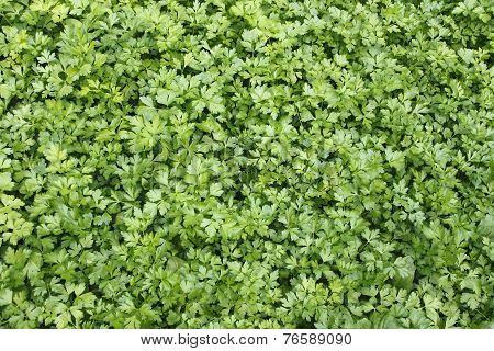 Green Plants Of Leaf Parsley