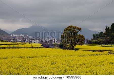 rural landscape - oilseed field at rainy day