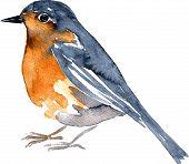 foto of robin bird  - watercolor drawing bird - JPG