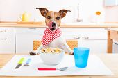 image of jacking  - jack russell dog sitting at table ready to eat a full food bowl as a healthy meal tablecloths included - JPG