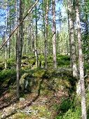 image of pinus  - Pine forest in Karelia - JPG