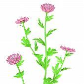 picture of chrysanthemum  - Chrysanthemums - JPG