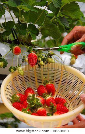 plucking strawberry