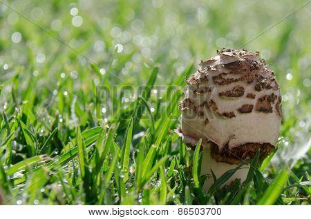 Young Morning Mushroom