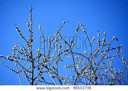 Branch With Buds - Spring In Vilnius City