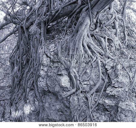 Large Banyan Tree Clings To A Rock