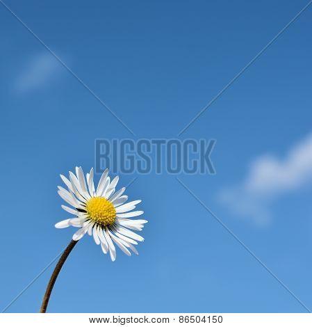 daisy in springtime
