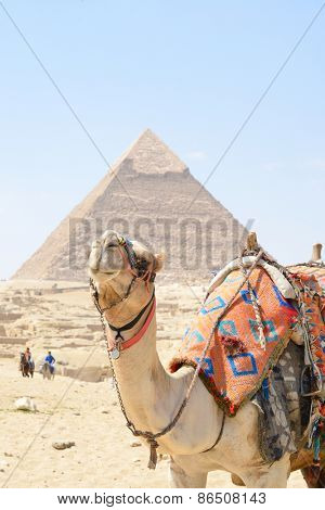 Cairo - A cute camel and Pyramid at Giza Egypt