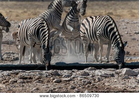 Group Of Zebras Drinking And Playing