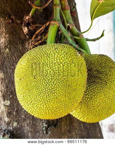 Jackfruit On The Tree. Exotic Big Fruit With Strange Smell.