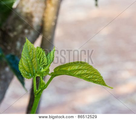 Mulberry Leaf Tree At Field, For Feed Silkworm