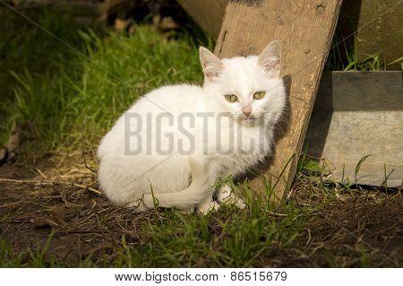 White Fluffy Kitten