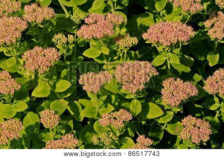 Sedum Spectabile Flowers