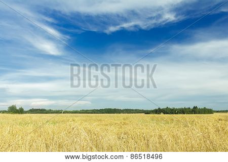 White Cirrus Clouds On Azure Sky Above Golden Yellow Rye Field