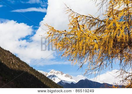 Golden Pine Tree In Huanglong National Park