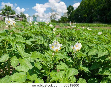 Potato Flowers In The Field