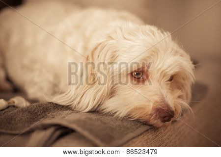 Havanese dog is resting on the couch