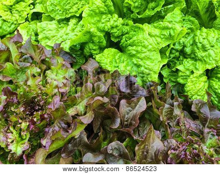 Green And Red Lettuce Growing In The Garden