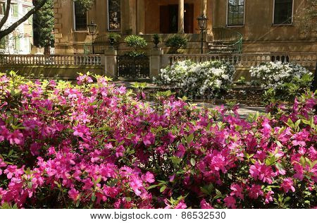 Azaleas at Their Peak