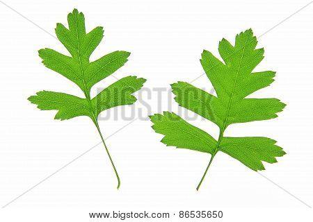 Hawthorn (Crataegus)
